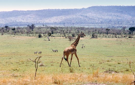 Giraffes in the wild in Kenya